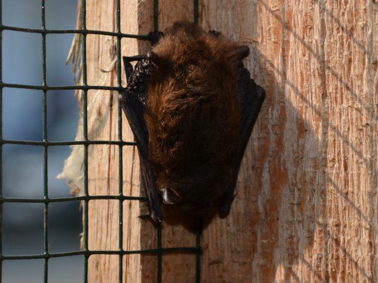 Frei schlafende Fledermaus